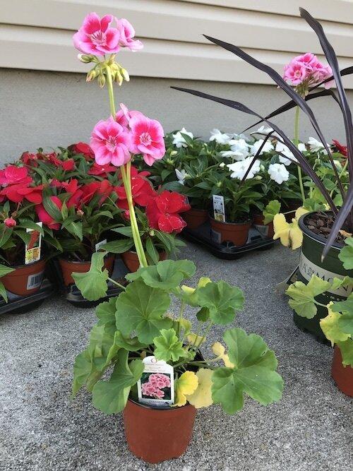pink-mega-splash-geranium-flower-in-pot