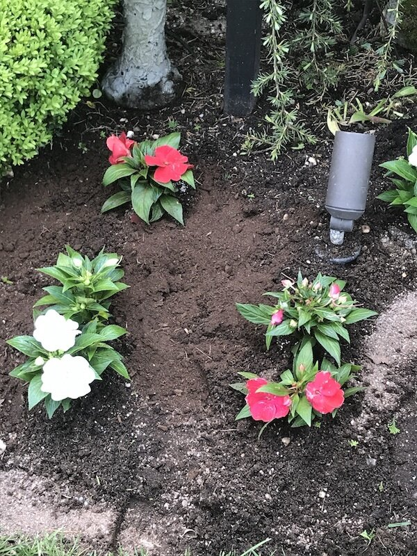 red-and-white-new-guinea-impatiens
