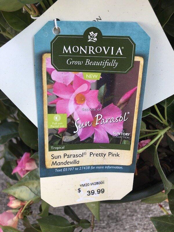 sun-parasol-pretty-pink-mandevilla-tropical-flower.jpg